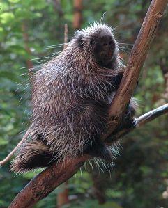 North American porcupine Erethizon dorsatum in a tree in Montreal